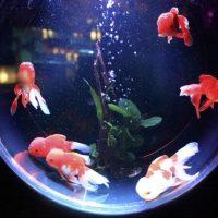【玄関風水】水槽+金魚で金運アップ