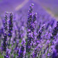 風水色:紫・ラベンダーの意味・方角
